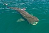 basking_shark_AAA6435