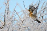 Fieldfare (Turdus pilaris) in frosted winter hedgerow in Cambridgeshire.