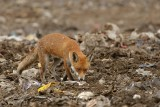 Fox (Vulpes vulpes) scavenging at landfill site in Essex.