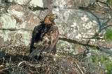 Wild golden eagle (Aquila chrysaetos) at its eyrie in Scotland.